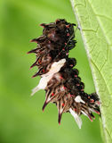 Common Rose Caterpillar Ready to transform to pupa. On leaf back Royalty Free Stock Photo