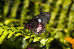 Common Rose longwing butterfly Stock Photography
