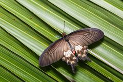 Common Rose Pachliopta aristolochiae butterfly. Clinging on palm leaves, dorsal view stock image