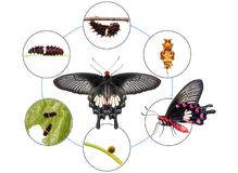 Common Rose Pachliopta aristolochiae butterfly life cycle. From egg to caterpillar to pupa and its adult form, isolated on nature background with clipping path stock images