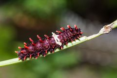 Common Rose Pachliopta aristolochiae caterpillar stock photo