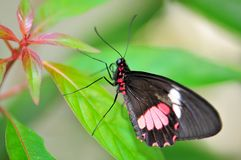 Common rose (pink) butterfly. A common rose butterfly standing on a leaf.  Photographed in Butterfly World, South Florida Royalty Free Stock Image