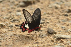 Common Rose. It 's a butterfly commonly found in India Royalty Free Stock Photo