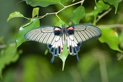 Common Rose Swallowtail Butterfly. Pachliopta aristolochiae (Common Rose Swallowtail) India, Sir Lanka, China and Malaysia royalty free stock images