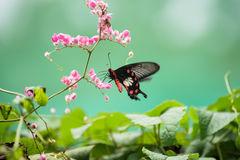 Common Rose Swallowtail butterfly on pink flowers close up Stock Photos