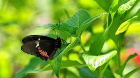 Common rose swallowtail butterfly Royalty Free Stock Photo