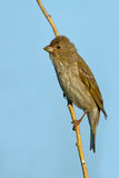 Common rosefinch royalty free stock image