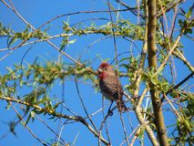 Common rosefinch on a branch Belarus. Minsk district stock images