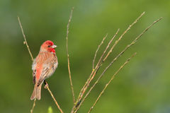 Common Rosefinch. Carpodacus erythrinus. Royalty Free Stock Photography