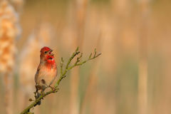 Common Rosefinch. Carpodacus erythrinus. Stock Photos