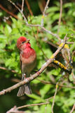 Common Rosefinch. Carpodacus erythrinus. Royalty Free Stock Image