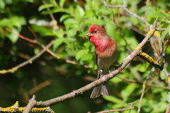 Common Rosefinch. Carpodacus erythrinus. Stock Photo