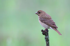 Common Rosefinch. Carpodacus erythrinus. Stock Images