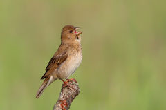 Common Rosefinch. Carpodacus erythrinus. Stock Image
