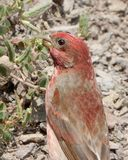 A common rosefinch stock images