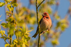 Common rosefinch scarlet rosefinch Stock Image