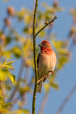 Common rosefinch scarlet rosefinch Stock Photo