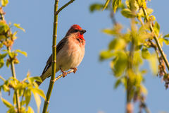 Common rosefinch scarlet rosefinch Royalty Free Stock Photography