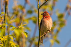 Common rosefinch scarlet rosefinch Royalty Free Stock Image