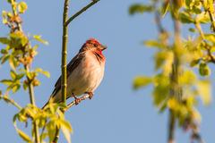 Common rosefinch scarlet rosefinch Royalty Free Stock Photos