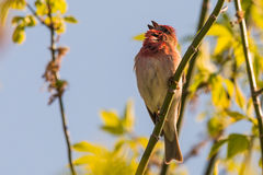 Common rosefinch scarlet rosefinch Stock Images