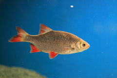 Common rudd. The adult common rudd in water Stock Image