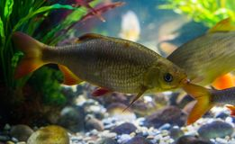 Common rudd swimming in the water, widely spread fish in the seas of Eurasia. A common rudd swimming in the water, widely spread fish in the seas of Eurasia royalty free stock photography