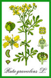Common rue herbal Stock Images