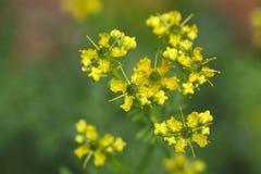 Common rue plant (Ruta graveolens) Stock Photography