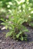 Common Sage. (lat. Salvia officinalis Royalty Free Stock Images