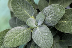 Common Sage Herb - Salvia officinalis Stock Photo