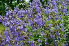 Common sage plant in flower. Royalty Free Stock Photo