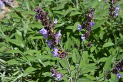 Common sage, salvia officinalis in flower stock photo
