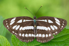 Common Sailer. (Neptis hylas) with green background stock photos