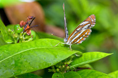 Common Sailor butterfly (Neptis hylas papaja) Stock Photos