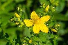 Common Saint John`s Wort - Hypericum perforatum. Close up of a yellow Common Saint John`s Wort flower. Also known as Perforate St. John`s-wort. Taylor Creek Park Stock Photos