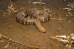 Common Sand Boa, Eryx conicus. Boidae. Non venomous. Kolhapur, Maharashtra Stock Images