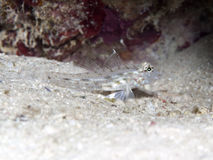 Common sand-goby Royalty Free Stock Image