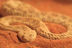 Common sand viper Stock Photo