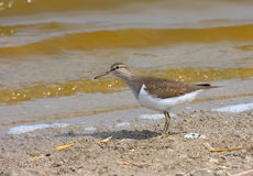 Common sandpiper Stock Photos