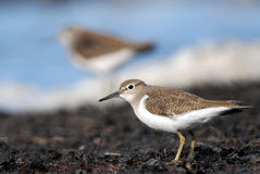 Common Sandpiper Royalty Free Stock Photos