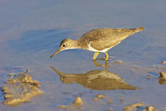 Common Sandpiper. A Common Sandpiper drinking water, Kruger National Park Stock Image