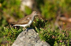 Common sandpiper Royalty Free Stock Photo