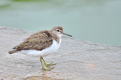 Common sandpiper Royalty Free Stock Photography