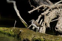 Common Sandpiper. In Danube Delta Stock Photos