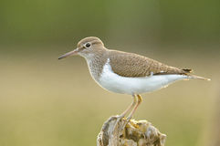 The Common Sandpiper Royalty Free Stock Photography