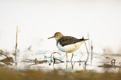 Common Sandpiper  (Actitis hypoleucos) Royalty Free Stock Photos