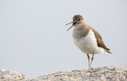 Common Sandpiper, Actitis hypoleucos, calling perched on a rock in Scotland. Royalty Free Stock Photography