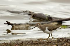 Common sandpiper (Actitis hypoleucos) Stock Photography