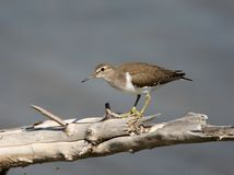 The common sandpiper Actitis hypoleucos on the large branch above water. Stock Photography